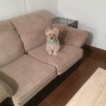 El-Cerrito-Sofa-Pet-Stain-Cleaning